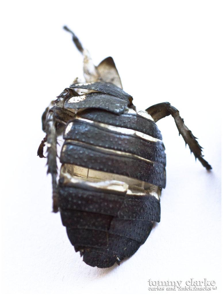 cockroach (exoskeleton)