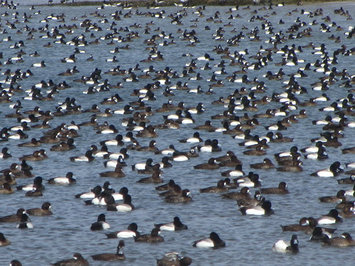vast flock of scaup