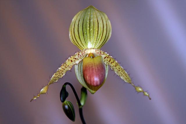 Orquídea Papiophedilum - Rothshidianum Primulinum