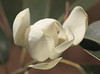 Photo:Magnolia maudiae / Michelia maudiae / 深山含笑(ミヤマガンショウ) By TANAKA Juuyoh (田中十洋)