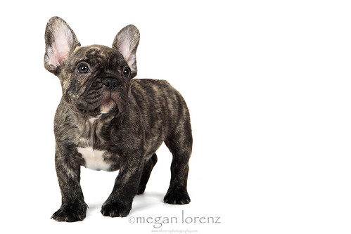 Brindle Beauty by Megan Lorenz