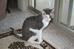 Beau in Phoenix, AZ. Beau is a rescued Cornish Rex available for adoption.