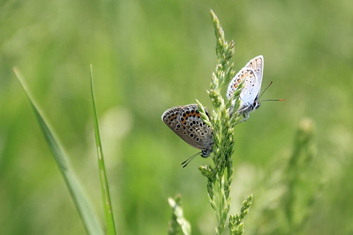 butterfly lycaenidae голубянка