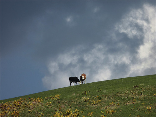 cows on the hill...