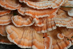 Chicken of the Woods - Sulphur Shelf - Wild Mushroom
