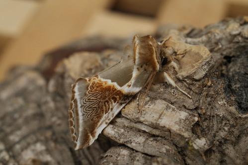 Buff Arches (Habrosyne pyritoides)