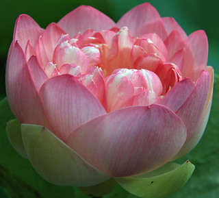 Striped Pink Lotus