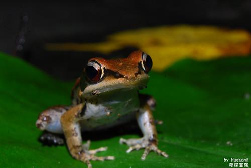 拉都希氏赤蛙(1)