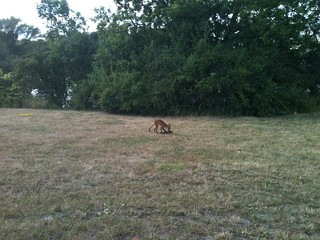 Not every day I see a small fox catch and kill a groundhog. Had to wait some time to get close enough for a photo