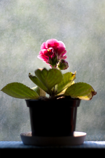 "Gloxinia ""Red"""