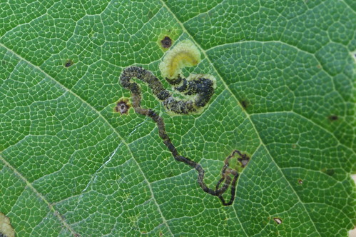 Stigmella speciosa mine on Sycamore