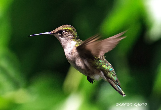 Adult Female Ruby-throated Hummingbird .  #8