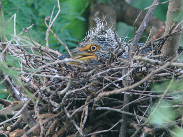Yellow-crowned Night-Heron nestling 2-20120724
