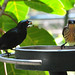 Small photo of Metallic Starling (Aplonis metallica) pair