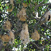 Small photo of Metallic Starling (Aplonis metallica) nests
