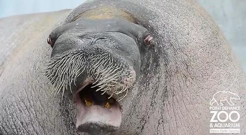 The walrus windbag | @GrrlScientist | Science | The Guardian