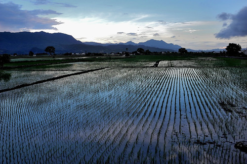 Rice Paddy in the Evening Light