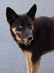 german shepherd dog(0.0), shikoku(0.0), lancashire heeler(0.0), karelian bear dog(0.0), finnish spitz(0.0), wolfdog(0.0), east-european shepherd(0.0), schipperke(0.0), dog breed(1.0), animal(1.0), lapponian herder(1.0), australian kelpie(1.0), dog(1.0), pet(1.0), street dog(1.0), east siberian laika(1.0), formosan mountain dog(1.0), carnivoran(1.0),