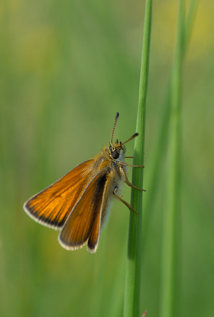 Small Skipper Thymelicus sylvestris 2