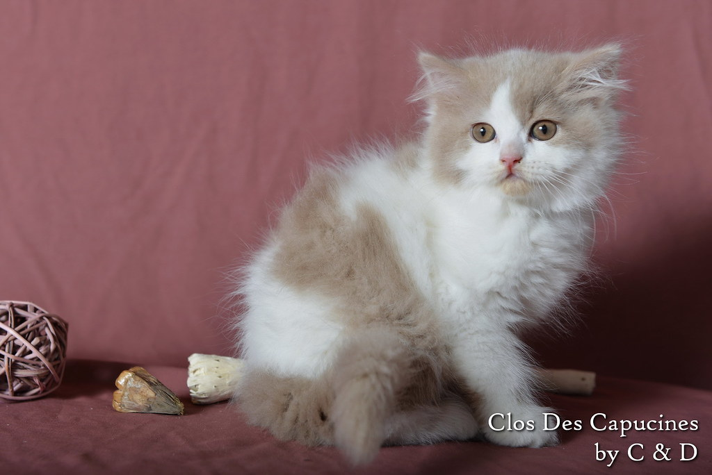 chaton british longhair fawn et blanc