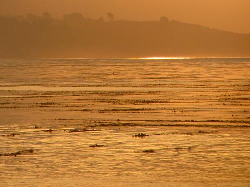 kelp bed turns gold