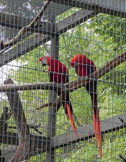 08-25-2012_Scarlet Macaw