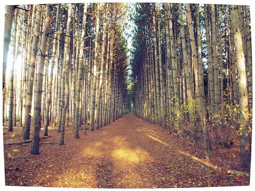 trees pine landscape path evergreen tall