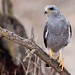 Gray Hawk - Photo (c) BJ Stacey, some rights reserved (CC BY-NC)