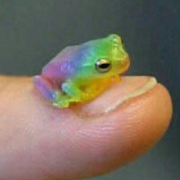 beautiful itty bitty rainbow frog flickr   photo sharing
