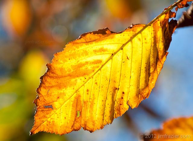 Cantigny Leaf