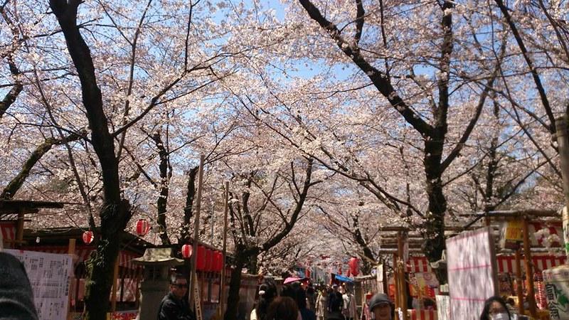 平野神社櫻