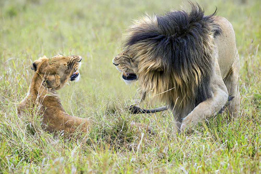 Scar from the Marsh pride Masai Mara