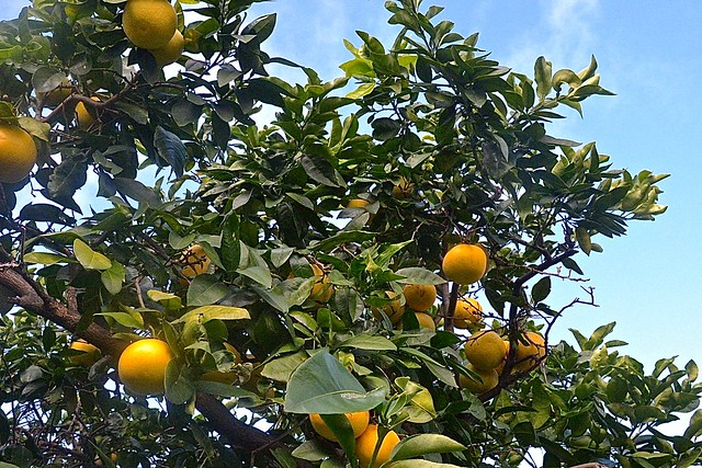 Grapefruit on our tree, 22 May 2016