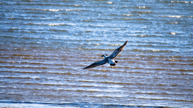 Gaviota Dominicana - Kelp Gull