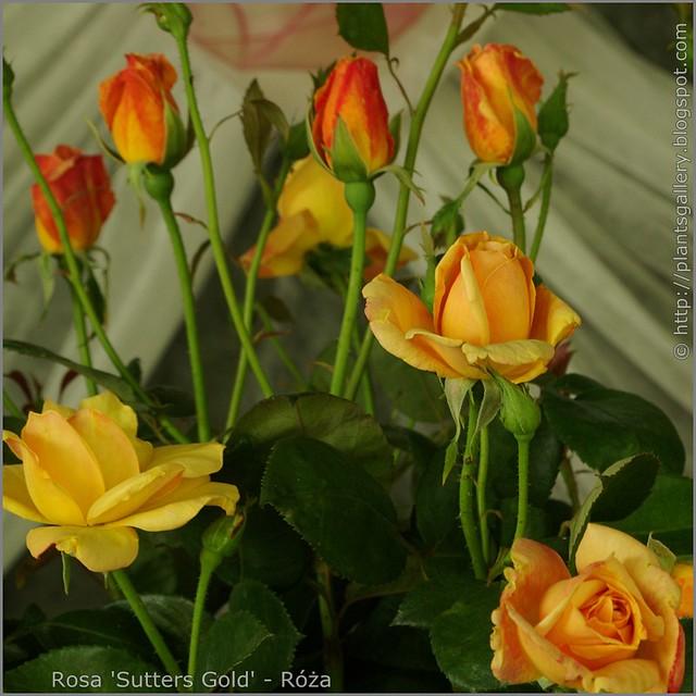 Rosa 'Sutters Gold' - Róża