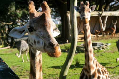 Sunday: Giraffes at the Zoo