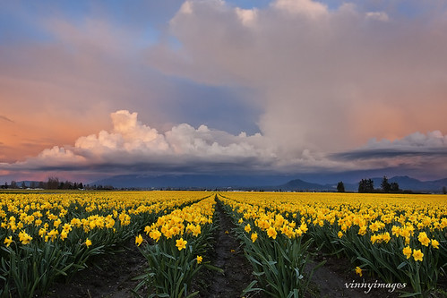 Daffodils in the Skagit Valley