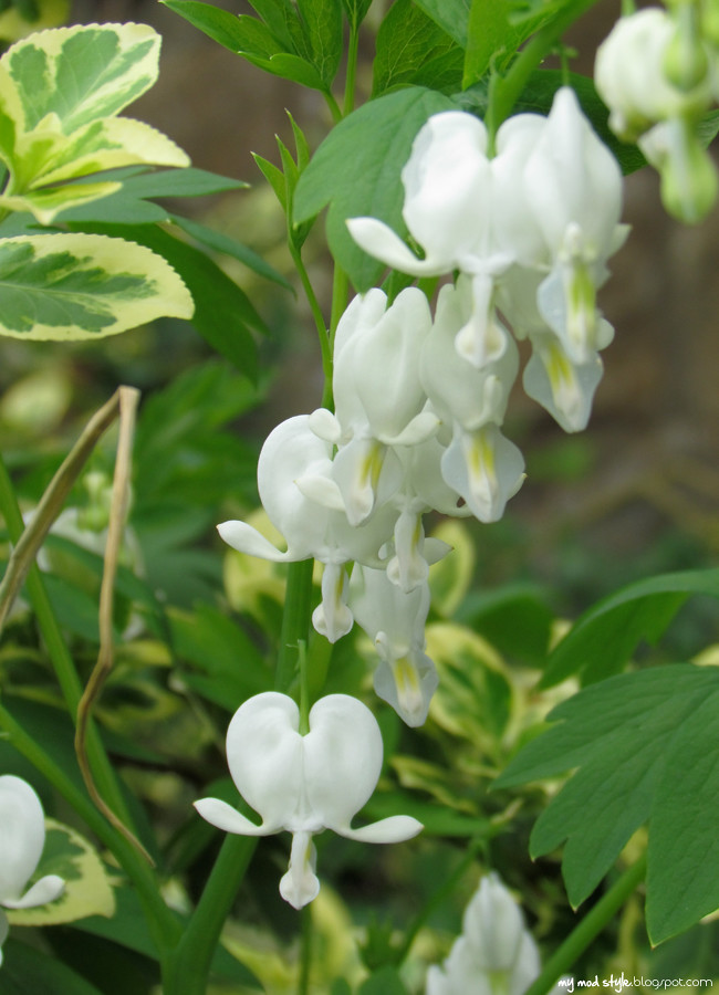 ohio bleeding hearts