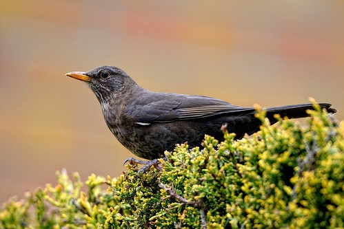 Mrs. Blackbird by Rivertay