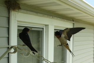 Barn swallow flight 7