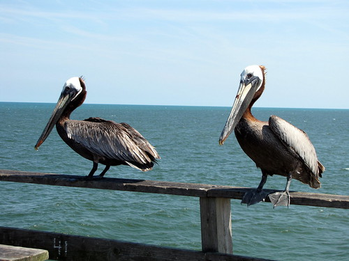 Two hungry pelicans