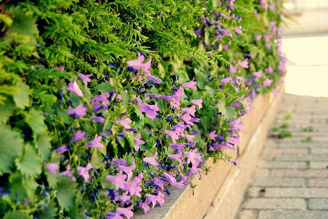 les fleurs mauves