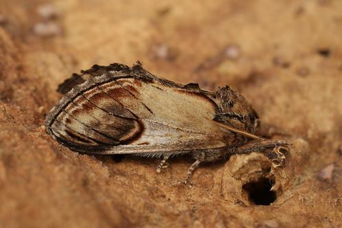 Pebble Prominent (Notodonta ziczac)