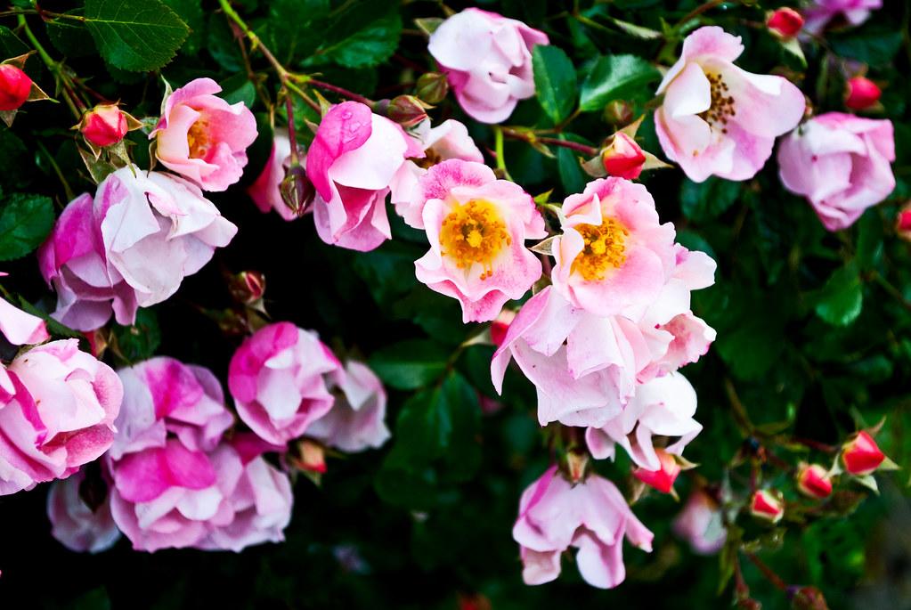 365-360 Little Pink