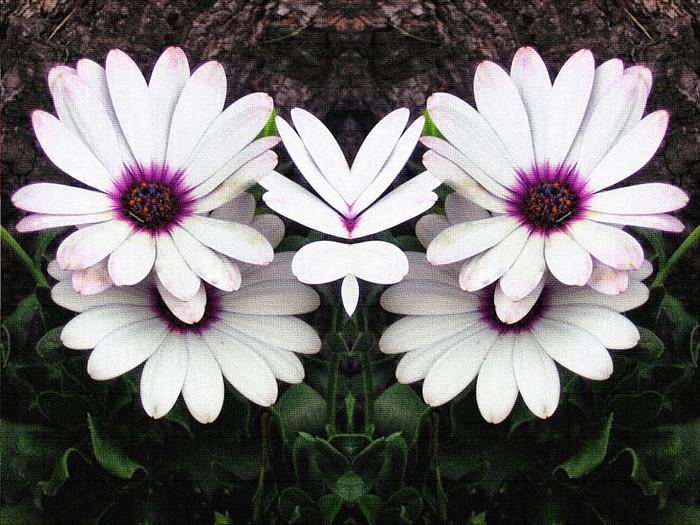 white-daisy-mirror-canvas-0643