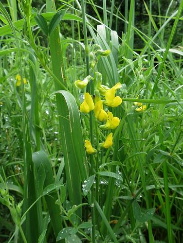 Чи́на лугова́я — травянистое многолетнее растение; вид рода Чина семейства Бобовые. Википедия Автор фото: Kari Pihlaviita