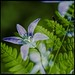Bluebells and ferns by ShimmeringGrains
