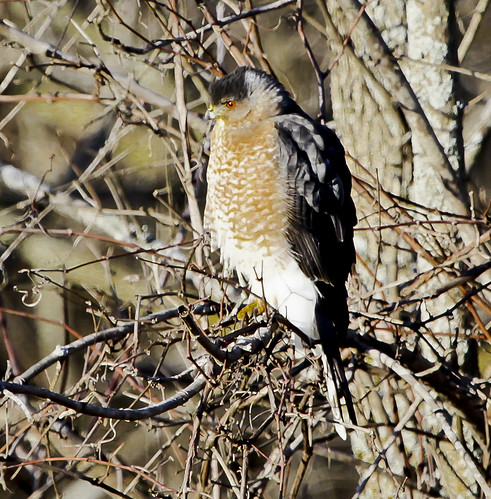 Cooper's Hawk by Ricky L. Jones Photography