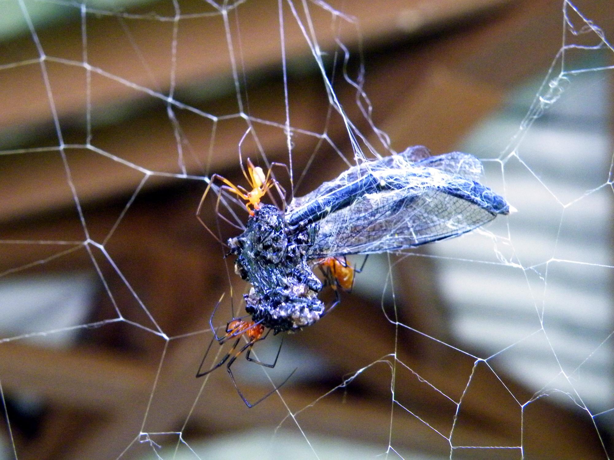 圖五:赤腹寄居姬蛛趁房東不在場,偷吃蜘蛛網捕到的一隻豆娘。