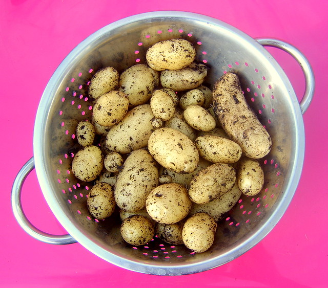 1st potato harvest of the year